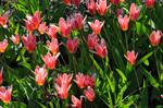 Tulipa kaufmanniana (Shakespeare)